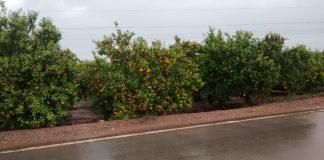 AVA-ASAJA valora positivament el temporal de pluges, però lamenta que el vent ha causat danys