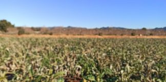 La Unió lamenta les pèrdues ocasionades per Filomena en el cultiu de carxofa